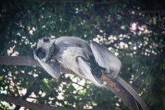 灰色叶猴休息 库存图片