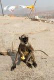 灰色叶猴和香蕉 库存图片
