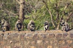 灰色叶猴猴子 库存图片