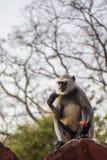 灰色叶猴猴子 免版税库存图片