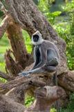 灰色叶猴或Hanuman叶猴 免版税图库摄影