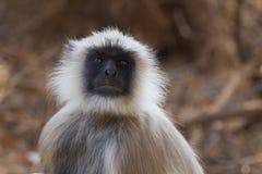 灰色叶猴或Hanuman叶猴(Semnopithecus) 库存图片