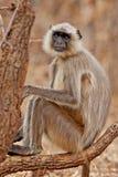 灰色叶猴 库存照片