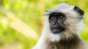 灰色叶猴 免版税图库摄影