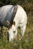 灰色吃草的马 免版税图库摄影