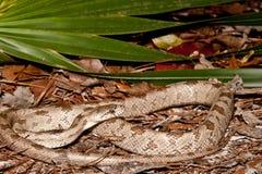 灰色吃鼠的蛇 图库摄影