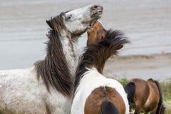 灰色和棕色Dartmoor小马战斗 库存照片