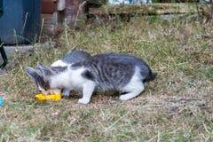 灰色和白色小猫在庭院里 库存照片