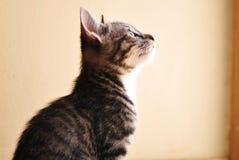 灰色和白色小猫 免版税库存照片