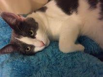 灰色和白色猫休息 免版税图库摄影