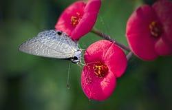 灰色和白色蝴蝶在一朵红色花的中心下来 免版税库存照片