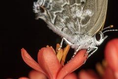 灰色和白色蝴蝶极端关闭关闭  库存照片