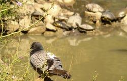 灰色和白色鸽子特写镜头与大棕色眼睛的,在与土地乌龟的湖背景 免版税库存图片