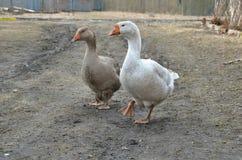 灰色和白色鹅 库存图片