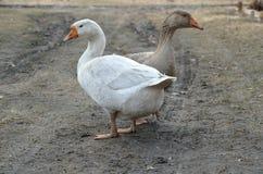 灰色和白色鹅 免版税库存照片