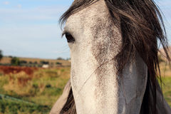 灰色和白马画象 免版税库存照片