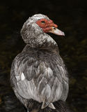 灰色和红色俄国鸭子 免版税库存照片