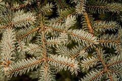 灰色和绿色云杉的针背景  库存照片