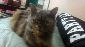 灰色和金猫 免版税库存图片