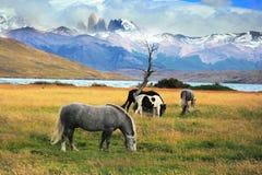 灰色和黑马在草甸 免版税图库摄影