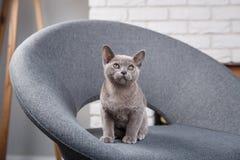 灰色在一把灰色织品椅子的小猫缅甸开会在内部对白色砖墙 图库摄影