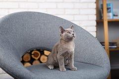 灰色在一把灰色织品椅子的小猫缅甸开会在内部对白色砖墙 免版税库存图片