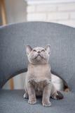 灰色在一把灰色织品椅子的小猫缅甸开会在内部对白色砖墙 免版税库存照片