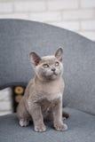 灰色在一把灰色织品椅子的小猫缅甸开会在内部对白色砖墙 库存照片