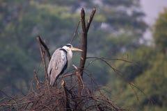 灰色在一棵树的苍鹭Ardea灰质的开会在Keoladeo加纳N 免版税库存照片