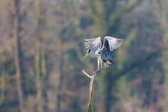 灰色在分支tr的苍鹭鸟ardea灰质的着陆画象  免版税库存图片