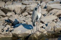 灰色在岩石的苍鹭Ardea灰质的身分画象  免版税库存照片