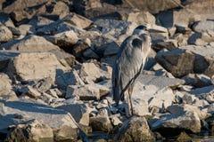 灰色在岩石的苍鹭Ardea灰质的身分画象  图库摄影