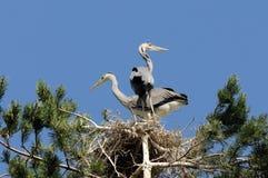 灰色在巢的苍鹭大小鸡 免版税库存图片