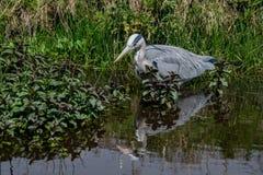 灰色在浅waterin浅水区的苍鹭ardea灰质的狩猎鱼 免版税库存图片