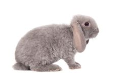 灰色垂耳兔子rex品种 免版税库存图片
