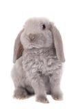 灰色垂耳兔子rex品种 图库摄影