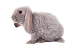 灰色垂耳兔子rex品种 免版税库存照片