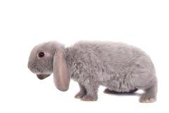 灰色垂耳兔子rex品种 免版税图库摄影