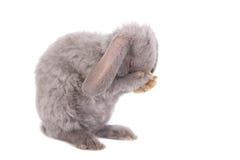灰色垂耳兔子rex品种 库存图片
