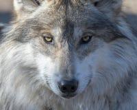 灰色墨西哥纵向狼 图库摄影