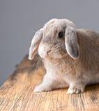 灰色复活节兔子听着 库存照片