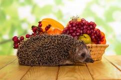 灰色多刺的猬,在水果和蔬菜旁边篮子在浅绿色 免版税库存图片