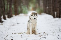 灰色多壳的开会的画象在一个多雪的森林里 免版税库存图片