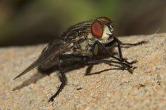 灰色大麻蝇(食肉动物aurifrons) 库存照片