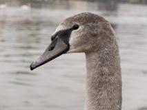 灰色天鹅年轻人 库存照片