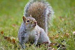 灰色好奇灰鼠 免版税库存照片