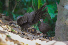 灰色孔雀野鸡` s家庭 库存图片