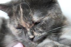 灰色家猫 免版税库存图片