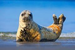 灰色封印, Halichoerus grypus,在大海的细节画象 有蓝色波浪的封印在背景中 动物在自然海 库存图片