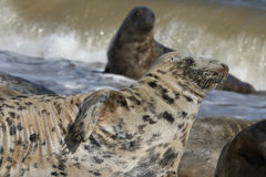 灰色封印& x28; Halichoerus grypus& x29; relazing在似马的一个海滩 免版税库存照片